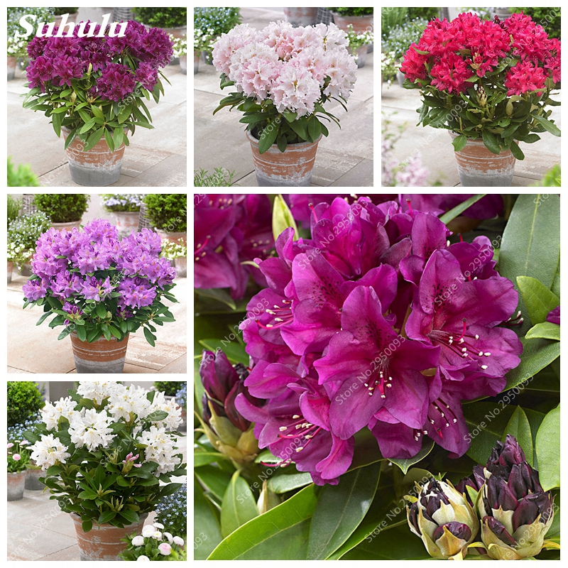 Us 0 13 78 Off 100 Pcs Bag Anese Azalea Bonsai Rhododendron Outdoor Flower Tree Diy Plant Home Garden Easy To Grow On Aliexpress