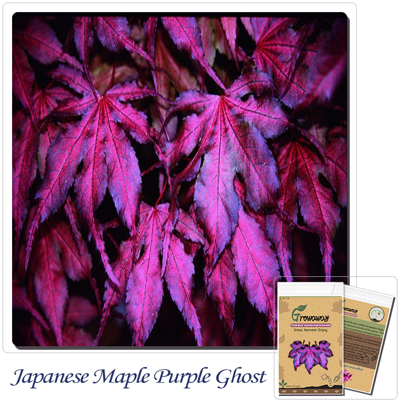 "Tree seeds 20pcs ""Purple Ghost"" Japanese Maple Seed Novelty bonsai! Home gardening DIY!"
