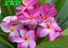 7-15inch Rooted Plumeria Rubra Plant Thailand Rare Real Frangipani Plants no21-ban-na-karn-pink