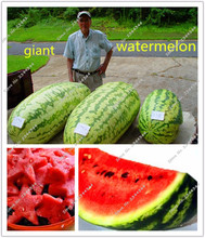 30 pcs/bag gaint watermelon seeds sweet healthy big watermelon organic food fruit seeds outdoor pot plant for home garden(China)