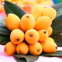 5pcs Loquat tree seeds bonsai fruit seeds Sweet perennial plants indoor potted for spring home farm sementes best packaging