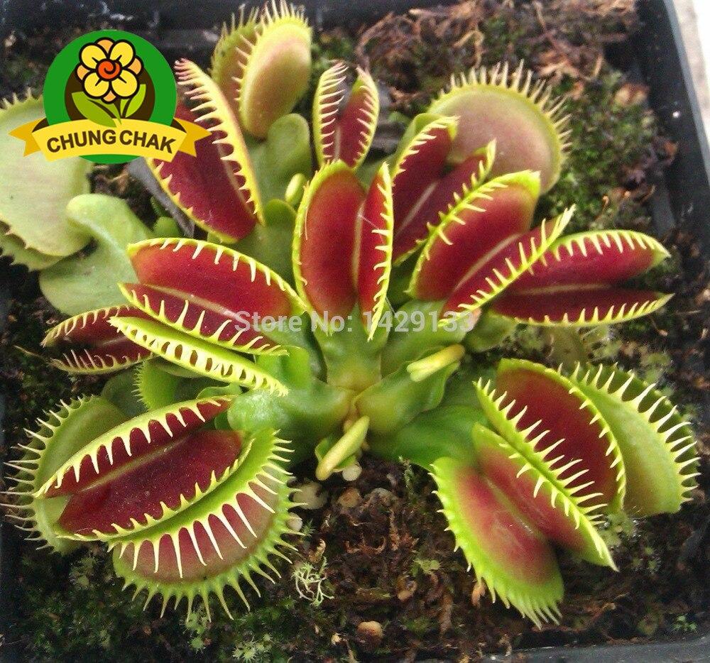 Carnivorous insectivorous succulent plant dionaea for Plante carnivore 01