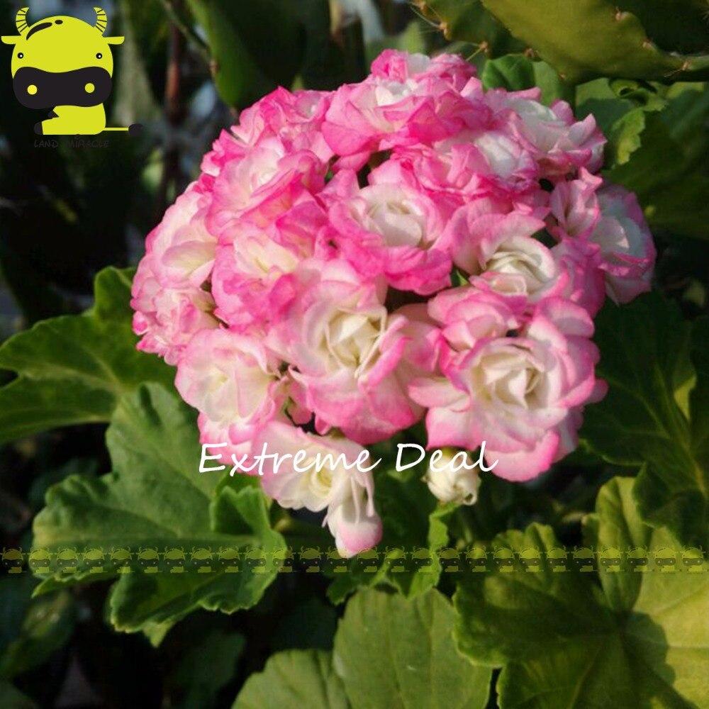 100 Genuine Rare Geranium Apple Blossom Light Pink Flower Seeds 5