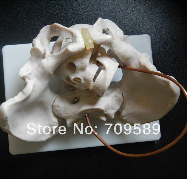 Online Shop Anatomy Pelvis Model with fetal skull, Birth ...