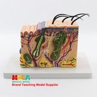 35X 3D Skin model Skin tissue structure Human skin Biology Anatomical model Medical teaching equipment