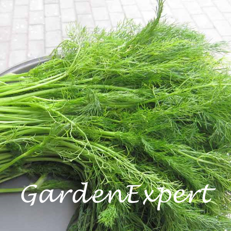 100pcs Cutting Fennel Seeds Green Fennel Seeds Bonsai Seeds Vegetable Potted Plant DIY Home Garden Free Shipping