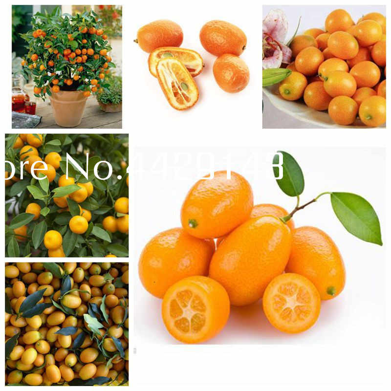Promosi! 50 Pcs Balkon Teras Pohon Buah Kumquat Bonsai, Miniatur Indoor Taman Bonsai Dwarf Citrus Jeruk Juicy Buah Pohon