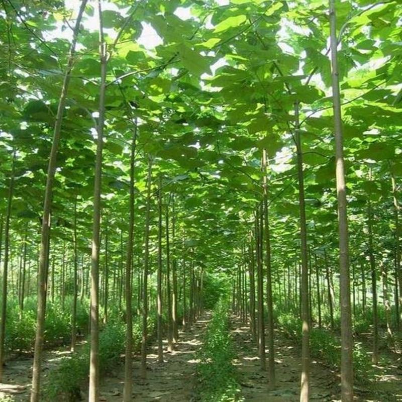 Achetez en gros paulownia arbre pour jardin en ligne des for Arbre de jardin a croissance rapide