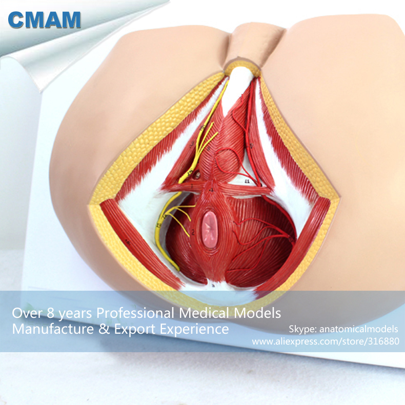 12463 CMAM-ANATOMY25 Life Size Anatomy Model Male Perineum on Board , Medical Science Educational Teaching Anatomical Models 12400 cmam brain03 human half head cranial and autonomic nerves anatomy medical science educational teaching anatomical models
