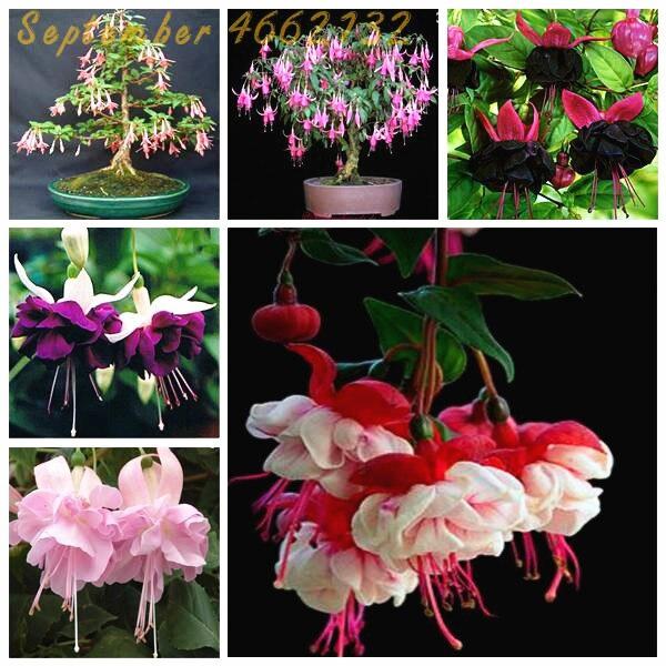 100 шт многоцветные фуксия бонсай, Hybrida Hort Flores, светильник бонсаи цветы, для сада дома, дома, цветущие растения в горшках