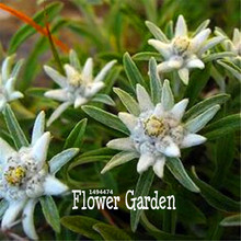 Buy edelweiss flower and get free shipping on aliexpress edelweiss flores bonsai plantas potted plants flower plante diy mightylinksfo