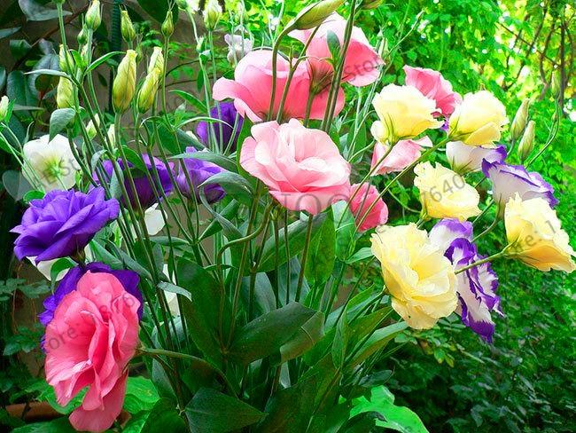 Новый Свежий Эустома многолетняя flores 200 шт. цветы plantas Лизиантус дома сад бонсай Бесплатная доставка, # P8GKDF