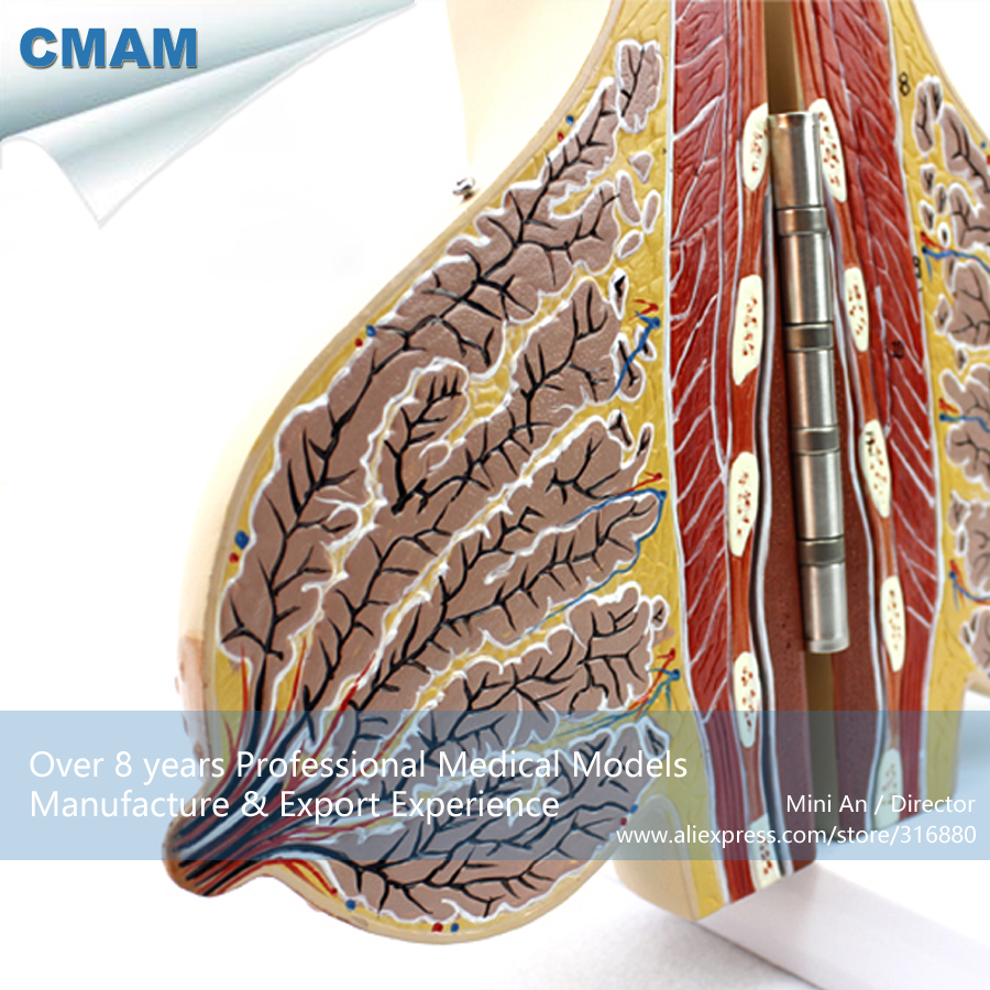 CMAM-ANATOMY22 Female Lactating Breast Section Anatomical Model, 2 Parts, Anatomy Models > Female Models cmam viscera01 human anatomy stomach associated of the upper abdomen model in 6 parts