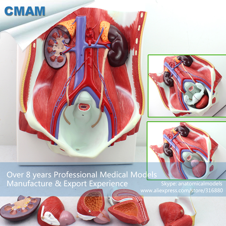 CMAM-UROLOGY06 Removable Organ Anatomy Urinary System Model on Board, Medical Science Educational Teaching Anatomical Models cmam urology06 dual sex human urinary system in situ male and female bladder interchangeable