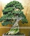 50 pcs bonsai Sementes de árvores em vasos flores escritório bonsai Sementes de pinus purificar o ar absorver gases nocivos frete grátis