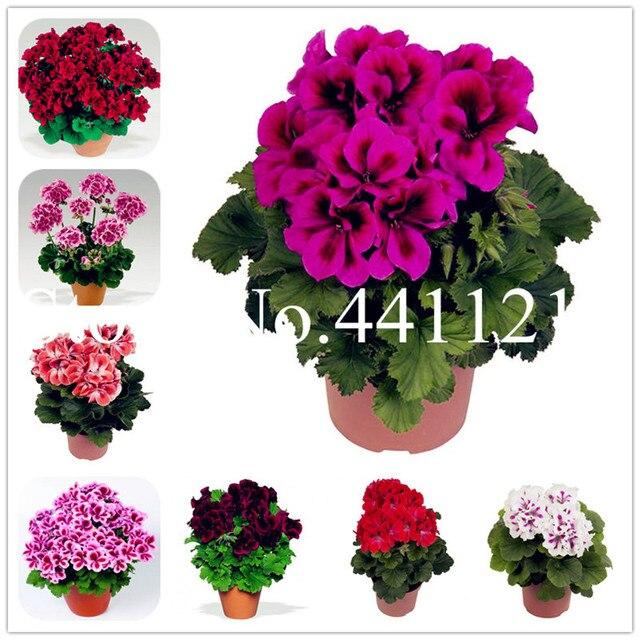 Vendita calda! 100 pz Bonsai Geranio giardino di Fiori Perenni flores Pelargoniu