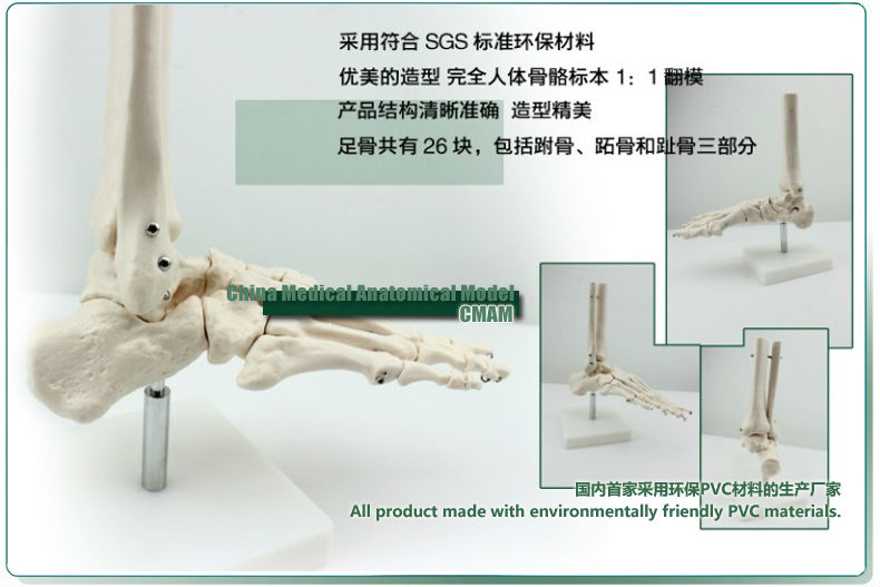 Cmam Foot And Ankle Skeleton Right Human Joint Model For Medical