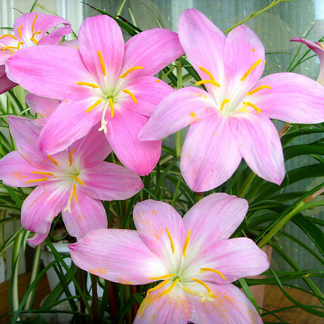 Hot sale pink daffodils seeds beautiful bonsai daffodil flower seeds hot sale pink daffodils seeds beautiful bonsai daffodil flower seeds clean air narcissus seeds flowers for mightylinksfo