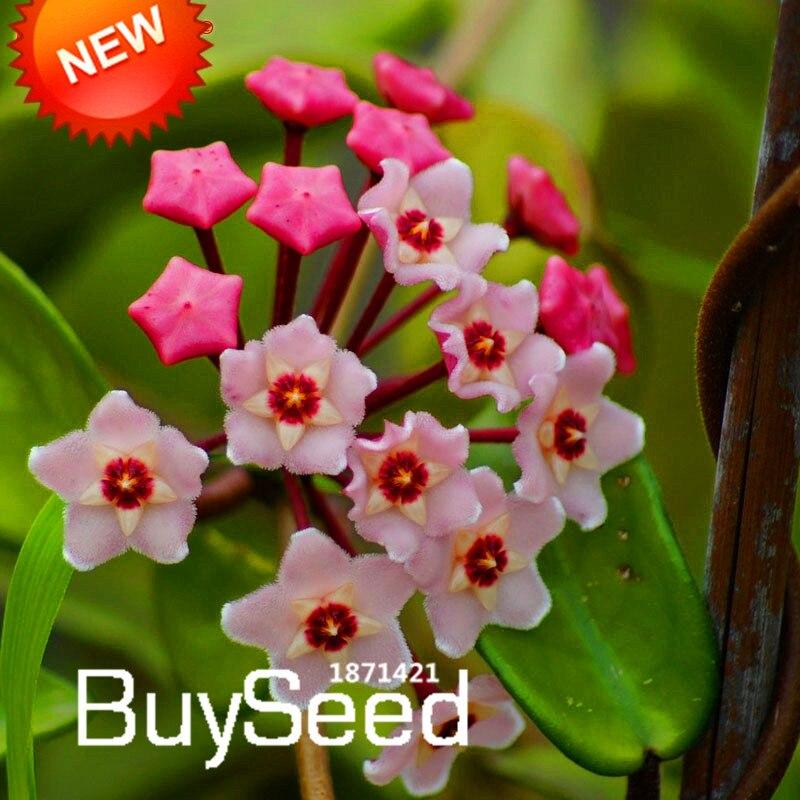 Salegreen Hoya Seeds Potted Seed Hoya Carnosa Flower Seed Garden