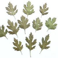 50 Pcs Chrysanthemum Leaves Dried Leaf Samples Green Creative Children Handmade Materials Pressed And Painting Flower