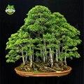 20 enebro árbol bonsai Semillas de flores en maceta oficina bonsai purifican el aire absorber gases nocivos