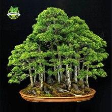Газы поглощать вредные juniper горшках бонсай дерево цветы очистки офис воздуха