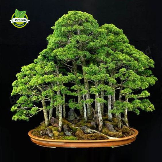 20 juniper bonsai tree Seeds  potted flowers office bonsai purify the air absorb harmful gases