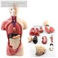 CMAM-TORSO11 26 см Мини-Торс  15 часть  Анатомия человека Модель Медицинских Наук  Самый Лучший Подарок для Доктора