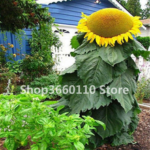 rare giant big sunflower bonsai black russian flower plants for home garden