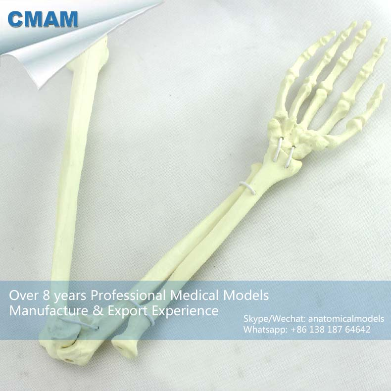 CMAM-TF14 Human Upper Limb Arm Skeleton Training Practice Model,  Medical Science Educational Teaching Anatomical Models plastic standing human skeleton life size for horror hunted house halloween decoration