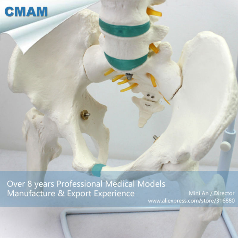 12376 CMAM-SPINE04-1 Flexible Life-size Vertebral Column with Femur & Tripod , Medical Science Educational Anatomical Models life size vertebral column spine with pelvis model bix a1009 w051