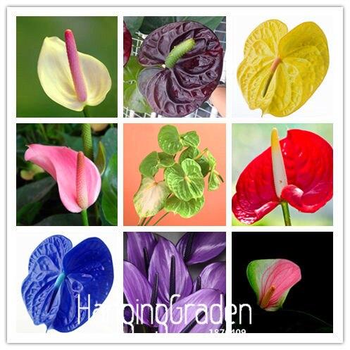 100 Pieces/bag Rare Flower Bonsai Anthurium Flores Balcony Potted Plant Anthurium Flower Plantas For DIY Home Garden,#YLILDI