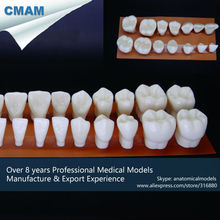 CMAM-DT108 Expansion 4x Times Human Dental28pcs Tooth Model