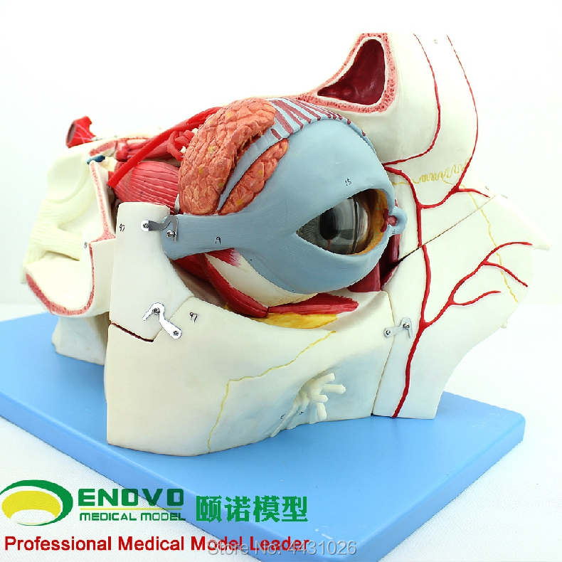 ENOVO Human body sensory apparatus eyeball anatomical model eye tissue model eye medicine eyelid tear gland human skin tissue structure enlarged model of hair follicle sweat gland enlargement human anatomical skin model gasen rzpf002
