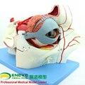 ENOVO Human body sensory apparatus eyeball anatomical model eye tissue model eye medicine eyelid tear gland