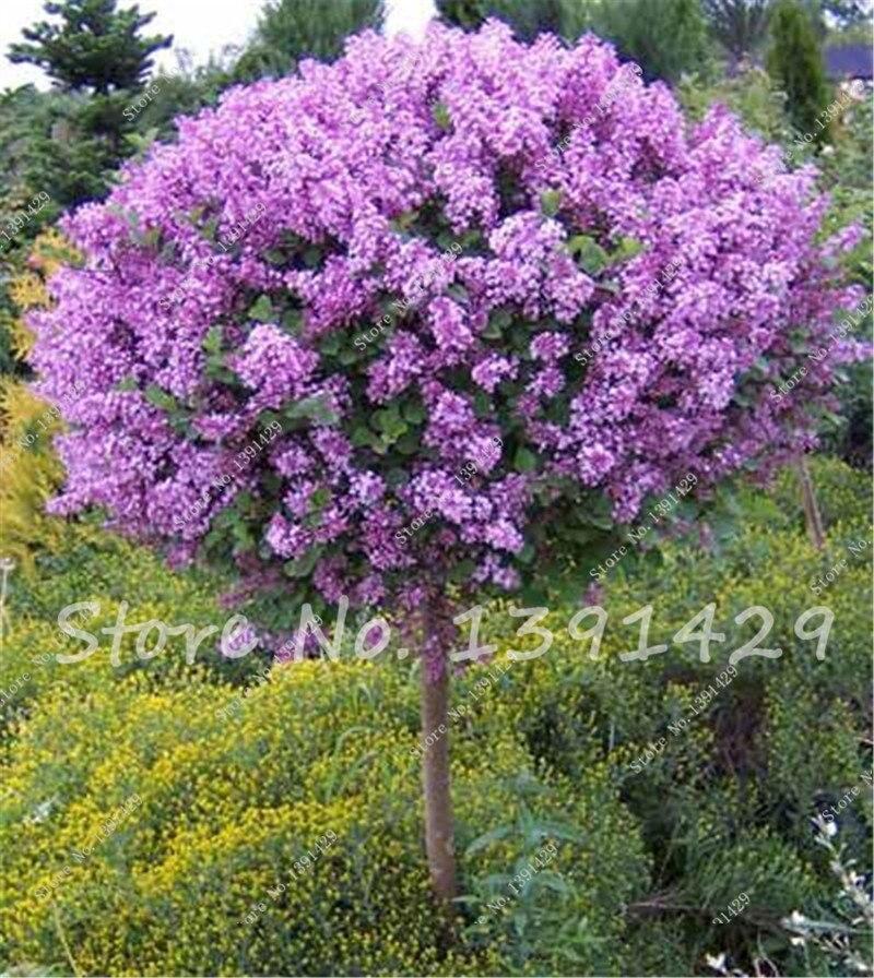 Buy 50 Pcs Purple Lilac Seeds Free Shipping