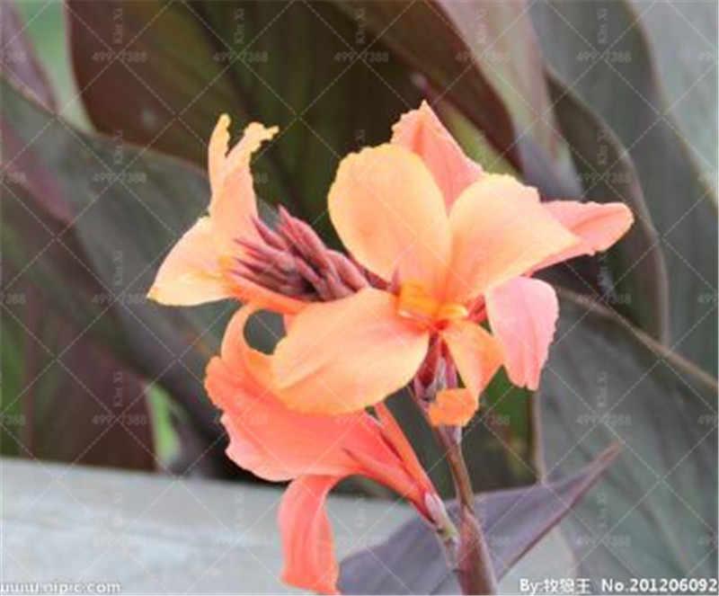 100 pçs/saco exótico canna lírio flore outdoor & indoor bonsai vaso perene planta de flores ornamentais para casa decoração do jardim fácil