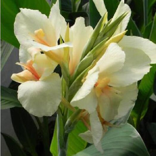 flower seeds canna lily seeds ermine tropical house plant white flowers family garden