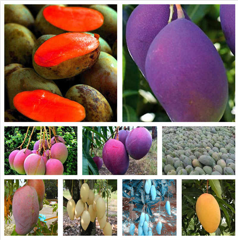 1 Pcs Bag Mango Plant Gaint Mango Tree Tropical Bonsai Organic