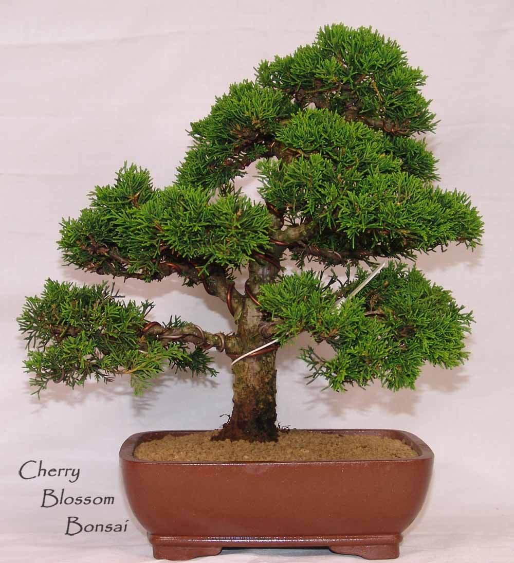 88bag Juniper Bonsai Tree Potted Flowers Office Bonsai Purify The