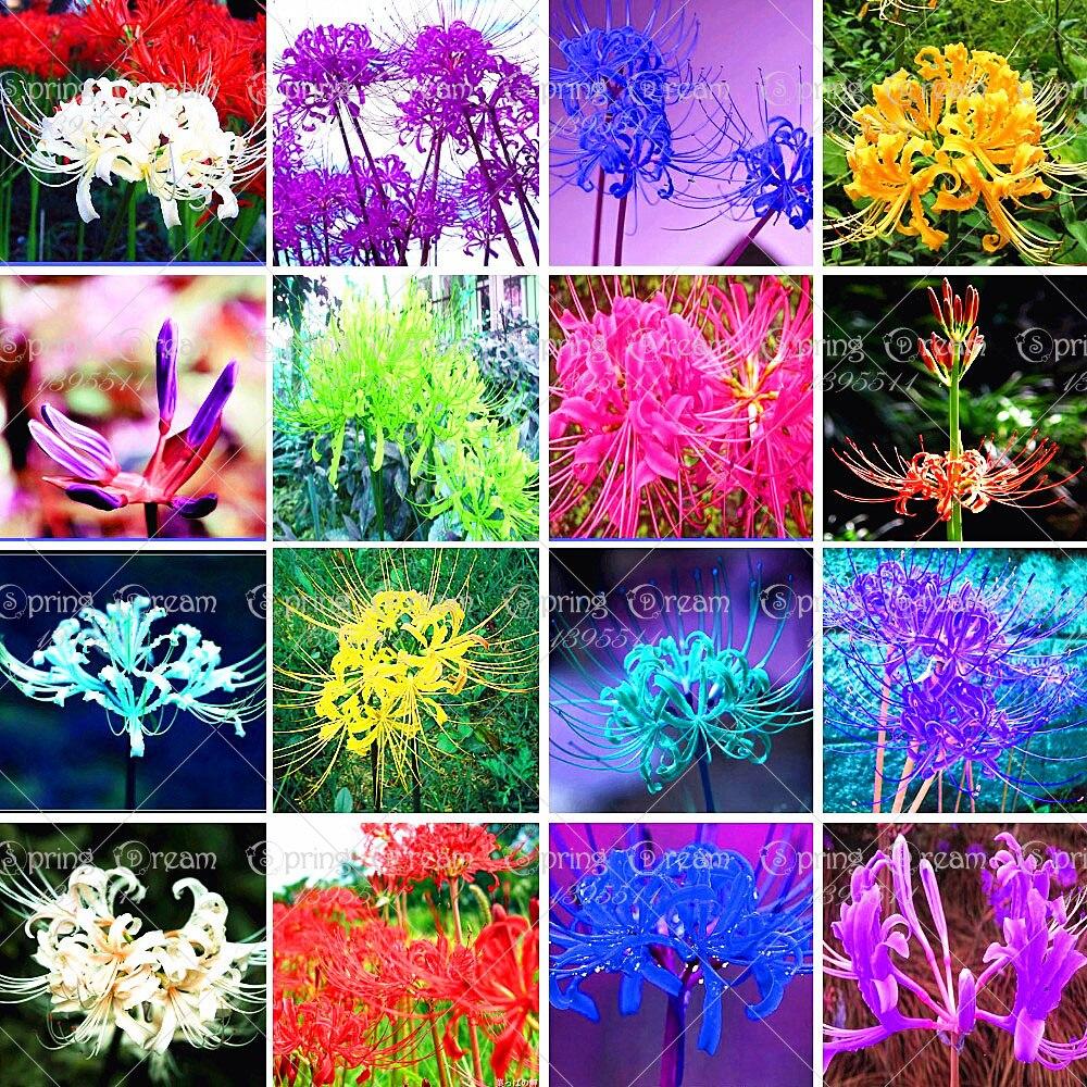 Lycoris Radiata Bulbs,16 Colors Available Bana Bulbs Potted Plants Indoor  Bonsai Garden (not
