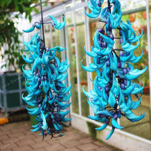 Rare Endangered Jade Vine 'Strongylodon Macrobotrys' Flower Bonsai Fragrant Perennial Blue Flower Bonsai For Home Garden 10PCS(China)