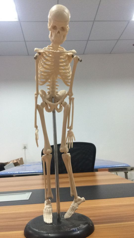 BIX-A1002 Human Skeleton Model(84cm)  WBW369 bix a1005 human skeleton model with heart and vessels model 85cm wbw394