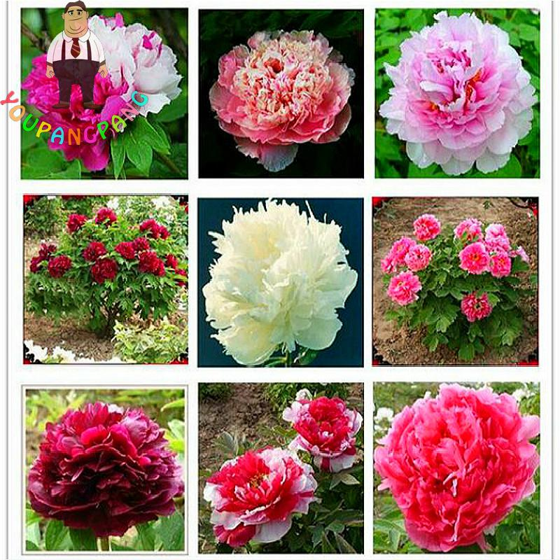 10 Pcs / Bag Peony Seeds Of Flowers Chinese Beautiful Bonsai Tree Indoor Flower Plants Seed For Balcony * Home Garden Decoration