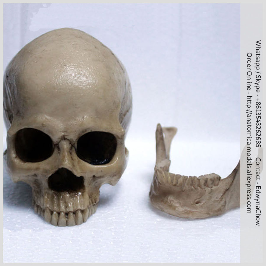 ED-PRC83 Art Study Skull Model with Movable Lower Jaw, Mini Skull Model longman active study dictionary cd rom pack 5 ed