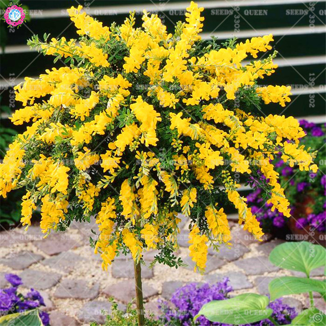 50pcs Sweet Acacia Sponge Tree Australia National Flower Bonsai