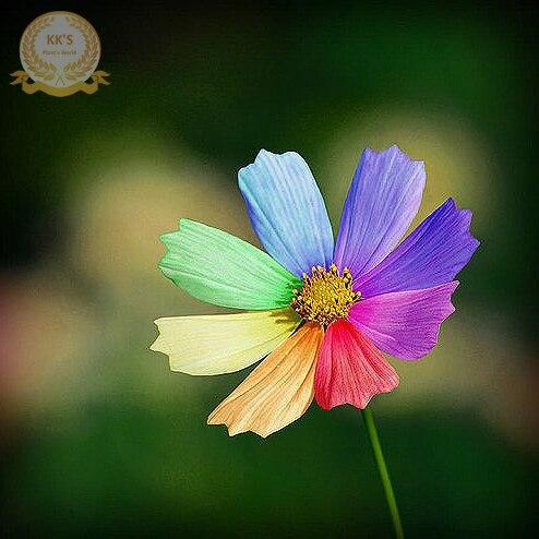 2015 New Arrival Limited Novel Plant Courtyard Plants Semillas De Flores Rare Rainbow Chrysanthemum Flower Seeds, 100 Seeds