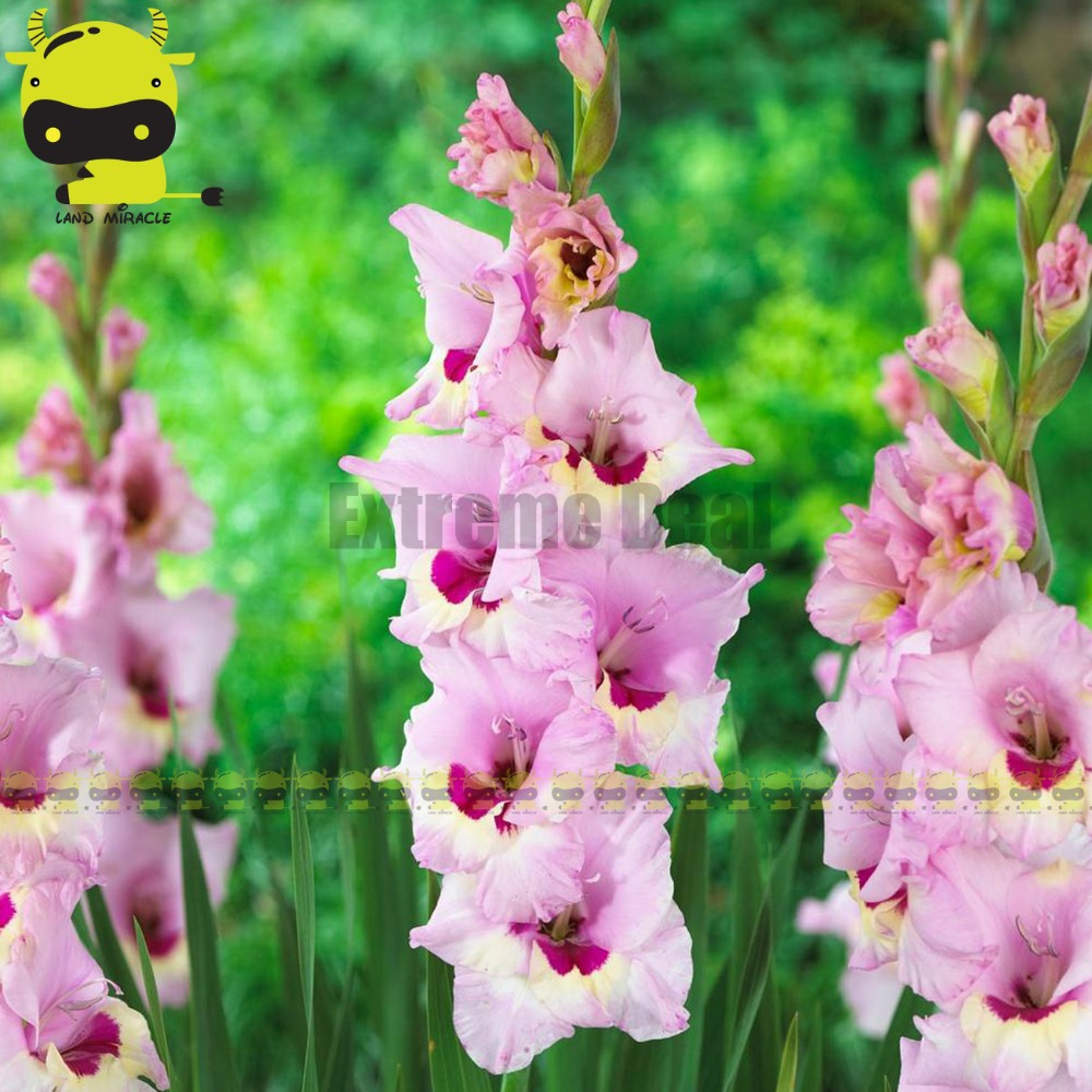 Zamoras Large Flowers Gladiolus Bulbs Sword Lily Seeds 20 Seeds