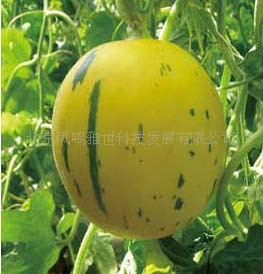 Yellow Meteor Melon bonsai 100 Pcs Organic Vegetable bonsai