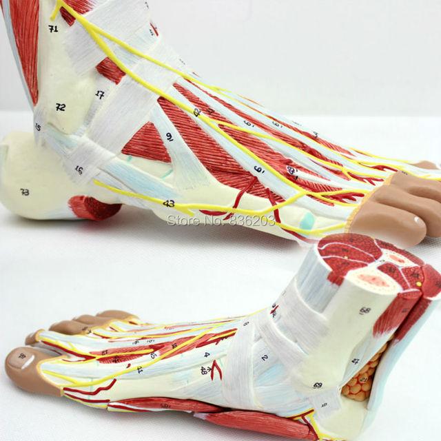 Fuß Skeleton Modell mit Bänder und Muskeln Anatomische Menschlicher ...